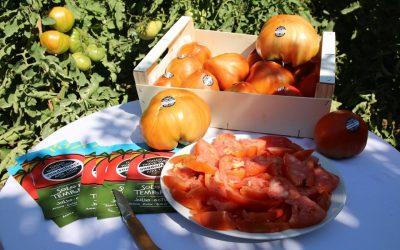 Comienza la temporada del tomate Huevo Toro 2019