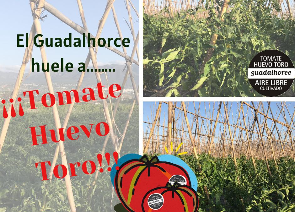 El Guadalhorce huele a …¡Tomate Huevo Toro!